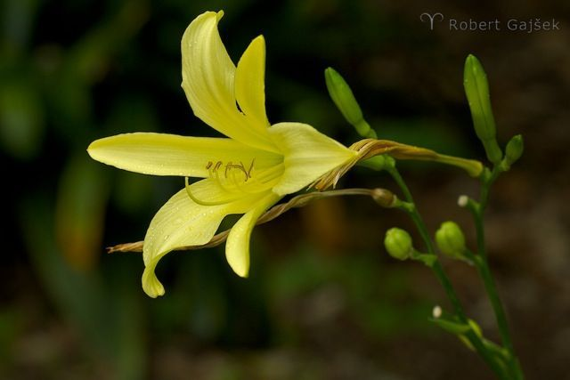 Robi Gajšek_Rumena roža