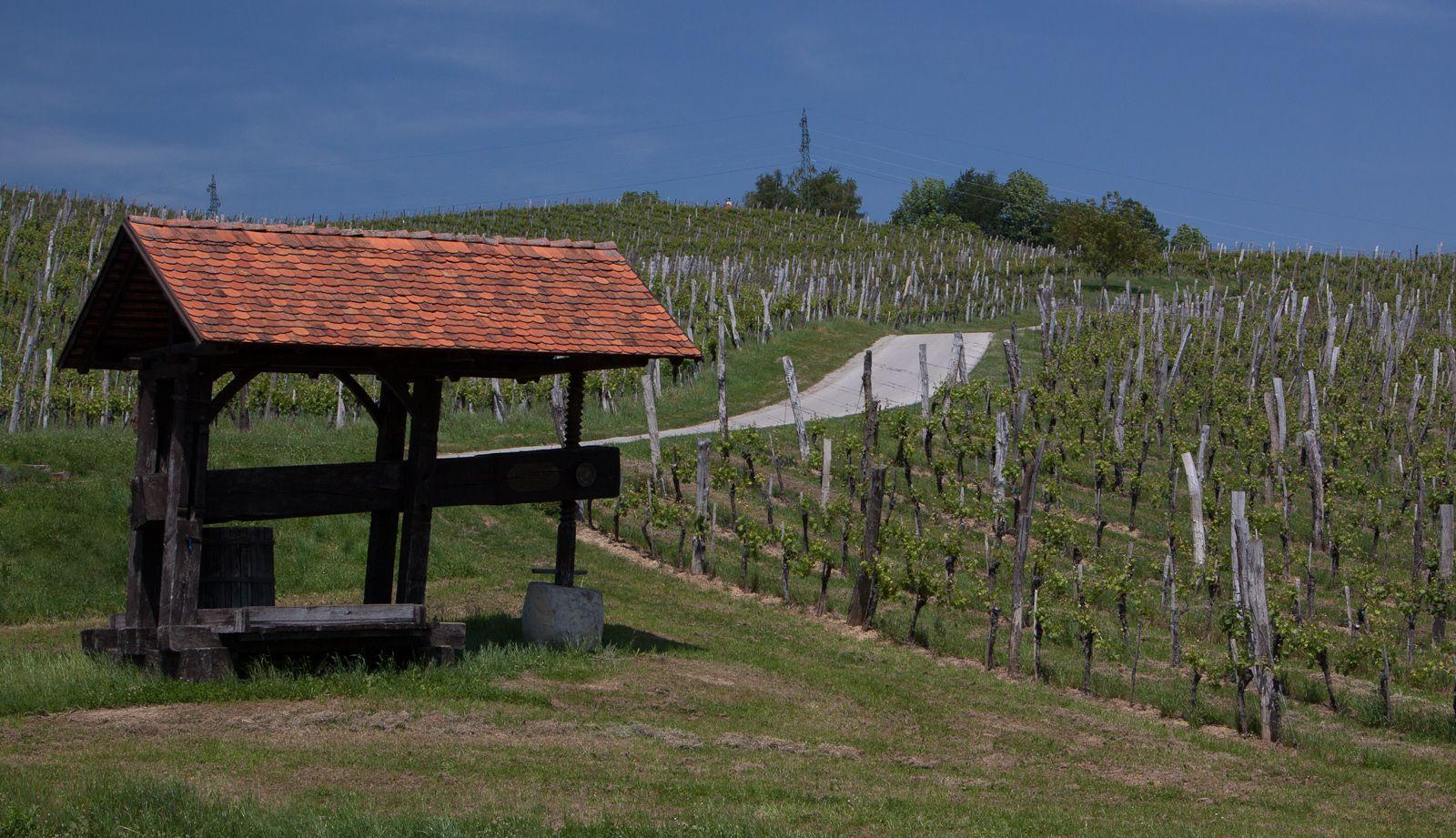 Ivek_Sama sredi vinogradov