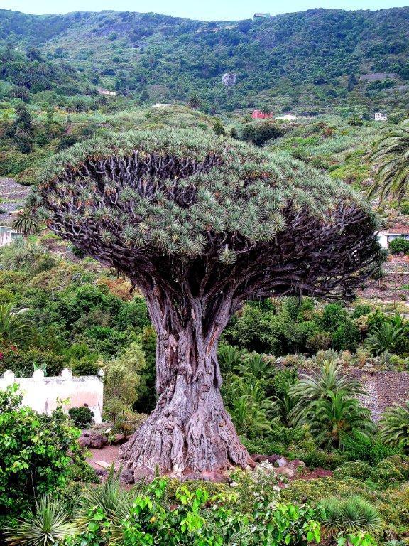 Valentin Steblovnik_Tisoč let zmajevega drevesa