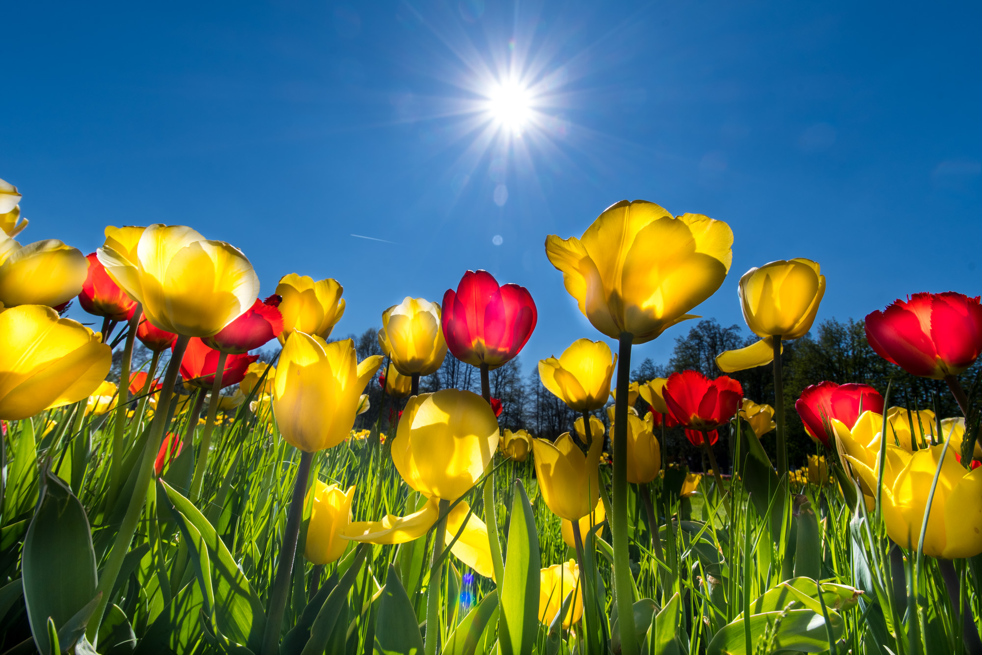Peter Ocvirk: Tulipani